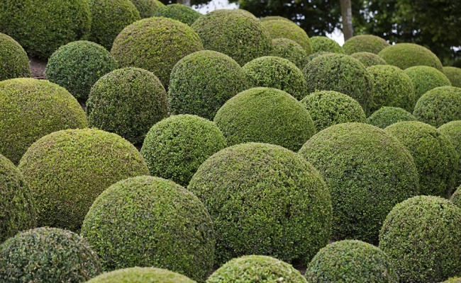 Boxwood  – Green garden balls in France,