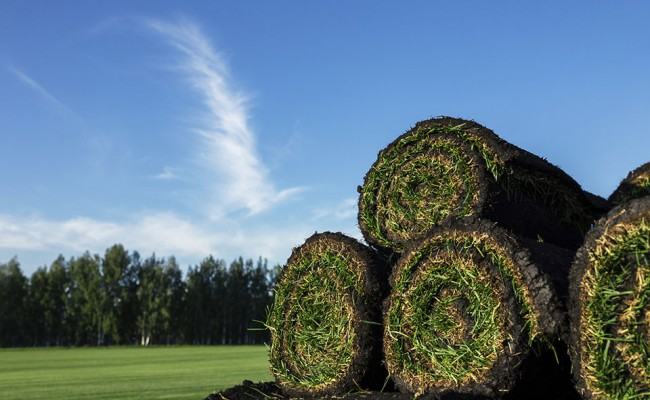Rolls of fresh grass turf