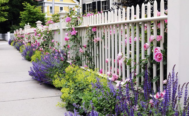 Garden Fence, Pink Roses, Speedwell